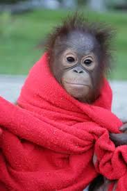 Cute Orangutan wrapped in red towel