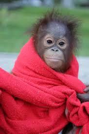 Cute Orangutan wrapped in red towel