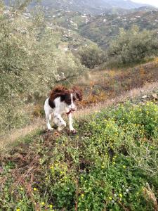 Spanish Mountain Goat