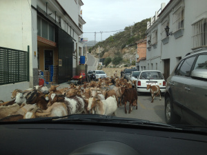 Goat walking in Spain