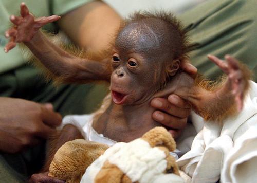Orangutan In Nappy