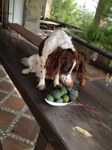 finding avos along the spanish road